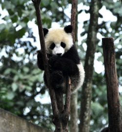 fuckyeahgiantpanda:  A giant panda cub at the Bifengxia Panda Reserve on September 23, 2011. © Osito_tai.