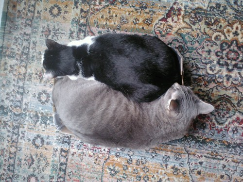 righteousblasphemy:  xomoonbeambutterfly:  Two cats  KITTY YIN-YANG