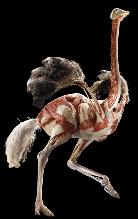 Autruche / Ostrich Animal inside out Exposition au Natural History Museum, Londres, du 6 avril au 16 septembre.