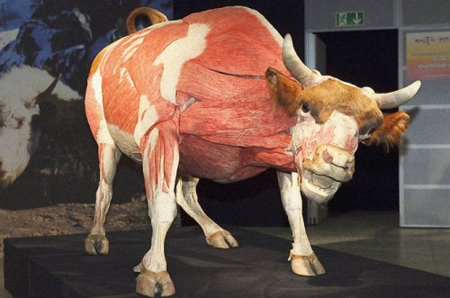 Taureau / Bull Animal inside out Exposition au Natural History Museum, Londres, du 6 avril au 16 septembre.