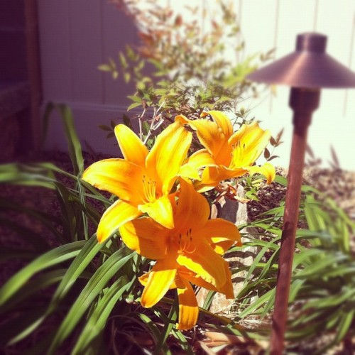 First backyard bloom of the season. (Taken with instagram)
