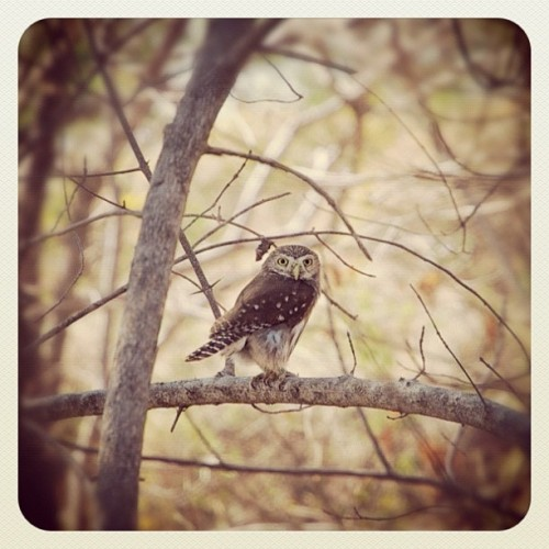 Saw this little dude this morning. It's a central american Pygmy Owl. It only stands about 4 inches tall. #yogasurf (Taken with instagram)
