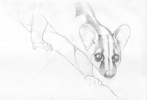 gymnure:  Banded palm civet More at http://gymnure.tumblr.com/. If you would like to use any of my designs for tattoos etc I would be delighted, but PLEASE send me a picture :). Thanks