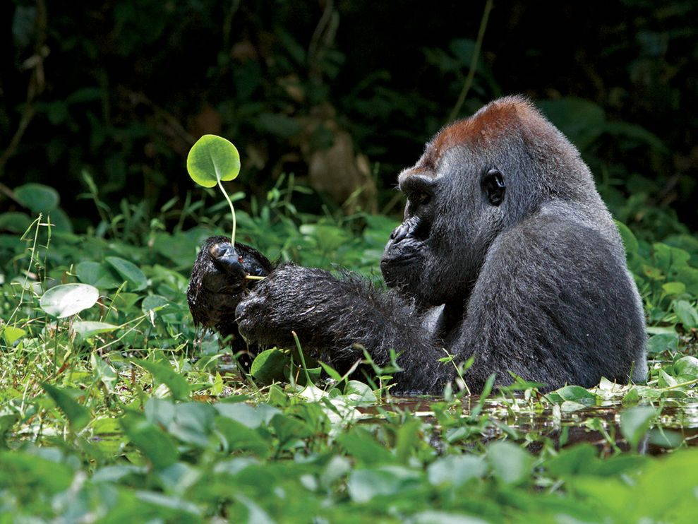 I love Gorillas.