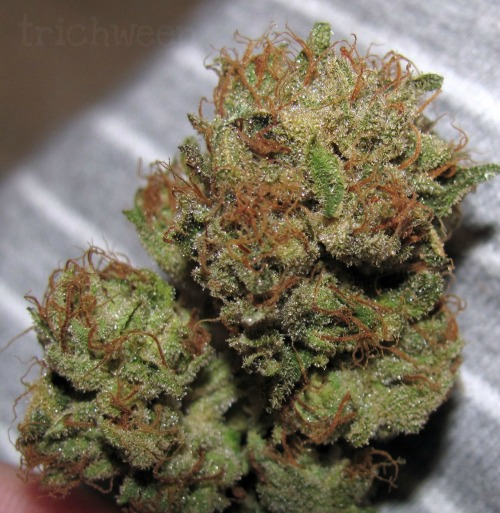 trichween:  Bubba Kush bud close-up [view in high-res]