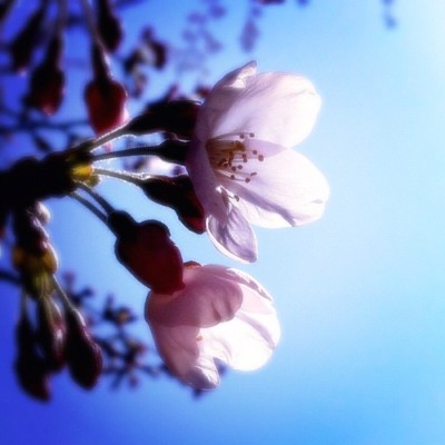 #cherryblossoms #sakura #flowers #flower #sky (Taken with instagram)