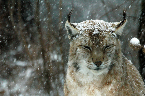 "jenclone:  funkysafari:  Lynx by ninodefilippo  Oh, Stormy does this with his ears sometimes, and we call it his ""lynx look""."