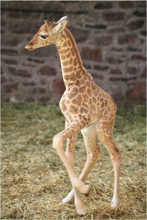 Giraffe dance! via:cuteoverload