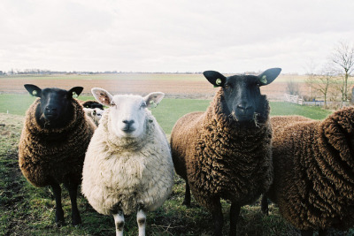 backtotheoceans:  i love sheeps! by kygp on Flickr.