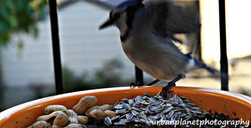 took this picture of this bluejay but it was already getting ready to fly off =(