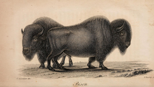n16_w1150 by BioDivLibrary on Flickr. Bison American natural history..Philadelphia,H.C. Carey & I. Lea,1826-28.biodiversitylibrary.org/page/2068729