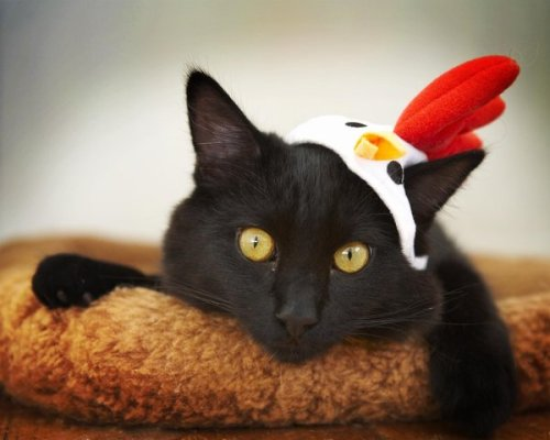 deviantart:Chicken Cat-Prada by ~Shiskababe
