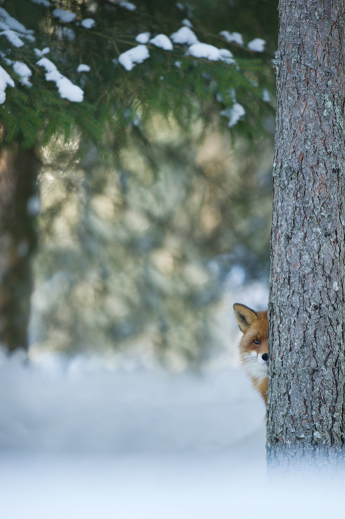 morgondagg:   Red fox lurking…. (by Edwin Kats)