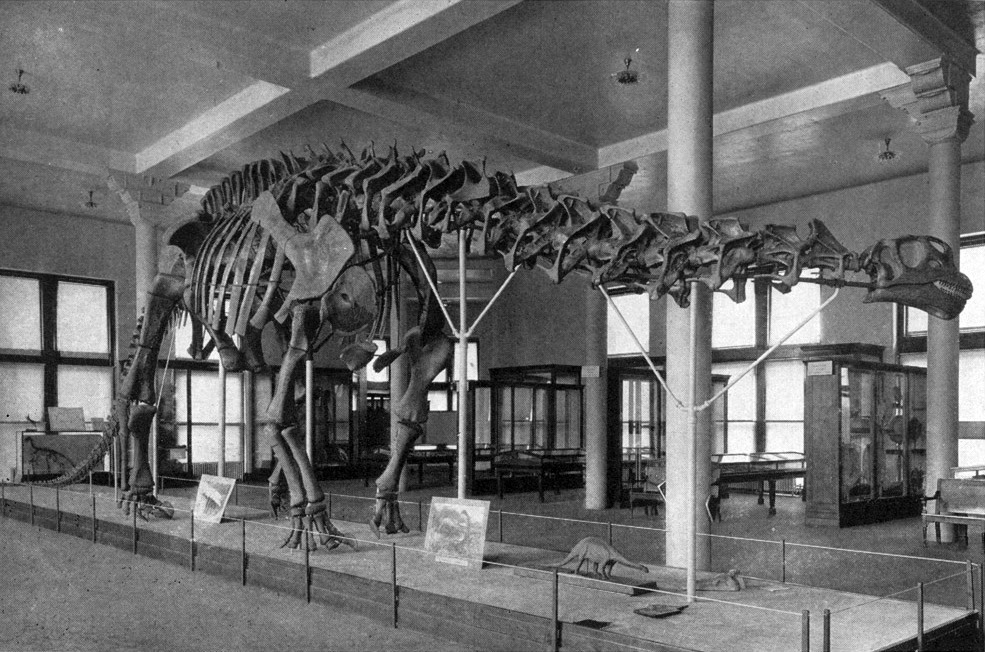 dailyfossil:  Brontosaurus  Mounted skeleton was on display at the American Museum of Natural History Reconstruction by Charles Knight When: Holocene (1879 to 1903)  Where: Scientific literature and museums on the east coast of the USA. Found even today in public consciousness and outdated dinosaur books.  What: Brontosaurus is perhaps the most well known of the sauropod dinosaurs. Too bad it never really existed!  The history of this name and why it became so popularized starts in 1877 when the paleontologist Othniel Charles Marsh applied the name Apatosaurus to a sauropod specimen. This specimen was not very complete and mostly represented by vertebrae and a pelvis.  Two years later he erected the name Brontosaurus based on an almost complete skeleton that was missing its head.  Headless sauropod skeletons are fairly common, but in this case this missing head only served to make the story even more complicated. This missing head was obviously a problem when the Peabody Museum of Natural History at  Yale wanted to mount its specimen of Brontosaurus for display. There was great debate over which head to use, which some camps wanting to use one that resembled Diplodocus but others rallied behind a Brachiosaurus type skull. This latter skull was what  Marsh had envisioned in his publications on Brontosaurus, so after much heated debate a Brachiosaurus type skull was attached to the previously headless skeleton.  This skeleton was unveiled to the public in 1905 to great fanfare and soon after the American Museum of Natural History in New York City had its own Brontosaurus on display, with an identical head to the Yale specimen.  So the general public had a firm concept of the dinosaur Brontosaurus! It was an easy to remember and pronounce name, this is what it looked like, and hey look we even have all of these lovely reconstruction showing these great lumbering beasts in prehistoric swamps. Too bad everything was wrong. And even worse, it was KNOWN to be wrong by some workers who were shouted down by others. In 1903, two years before the specimen was mounted at Yale,  a paper was published Elmer Riggs at the Field Museum of Chicago that declared that the bones known for Apatosaurus that overlapped with those of Brontosaurus showed that these two animals were the same. He concluded that Brontosaurus was not a valid name as it was two years younger than Apatosaurus. Even worse, remember the great head debate? Totally wrong. Later fossil finds have confirmed that a Diplodocus style head should have been used. These skulls are much more elongated and flatter than the high domed skull that was used for the Brontosaurus mount.  So not only is the name not valid, but the anatomy of the animal isn't even anything that ever existed in nature! It is a chimera of different species. Also sauropods were not aquatic swamp dwellers, they were 100% terrestrial creatures.  Poor Brontosaurus.   can we talk about how James and I just went a tour a NHM:LA and had one of the designers of the newest Dino hall exhibit tell us A. How awful is it that dinosaurs were ever displayed dragging their tails and B. sometimes sculptors get it wrong guys, shit happens. If you're trying to show something that no living human ever saw its going to be wrong sometimes.  As always Dinosaurs : everything, Humans: 0