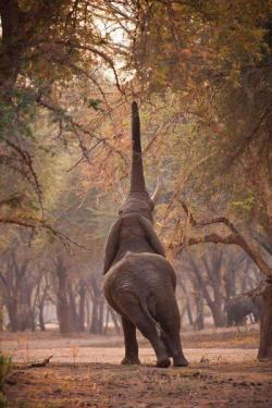 funnywildlife:   Craving for winter thorns 2 (loxodonta africanus)  by Etienne Oosthuizen