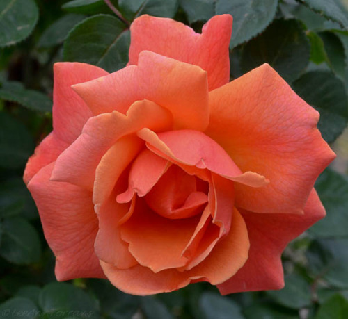 leeanntorrans:  Easy Does It … Texas Shrub Rose … http://leeanntorrans.com