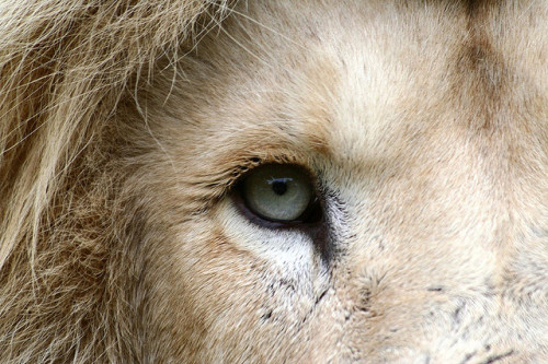 meere:  Rare White Lion from Lions Rock Reserve South Africa by Nostalgic T+ Allan on Flickr.