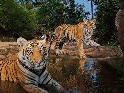 lay-zphotography:  Tigers, India Photograph by Steve Winter, National Geographic This Month in Photo of the Day: Animal Pictures Meet Smasher—the male in the background. That's the name Steve Winter gave this youngster, cooling off in a watering hole in Bandhavgarh National Park, after he slapped the automated camera trap until it stopped clicking. Both tigers are thought to have killed people, and Smasher is now in captivity.