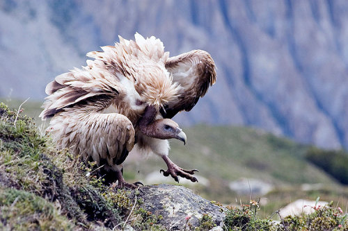 "oak-land:  softowl:  roachpatrol:  what a badass.  god i love vultures  I saw two vultures mating yesterday. The (I'm guessing) female crouched down on the ground the way ducks sit, and the (I'm guessing) male sort of stood on top of her with his wings outstretched, and wobbled a bit, and then fell off. What I enjoyed about it was the third vulture which was swooping around in the sky above them. I kept imagining that one going, ""HEY YOU GUYS! HEY! YOU GUYS! YOU GUYS! THERE'S A DEAD GROUNDHOG OVER HERE! GUYS! C'MON! GUYS! HEY!"" And the one on the ground like, ""FUCK YOU EARL I'M BUSY."""