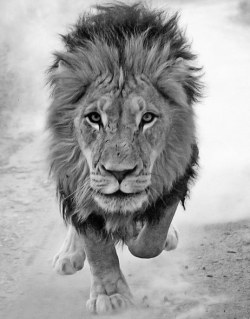 commedes-etoiles:  beautiful lion