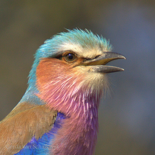 fairy-wren:  lilac breasted roller (photo by gerdavs)