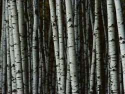 brilliantbotany:  Paper birches, Betyla papyrifera. They are members of the Betulaceae family.  favorite trees