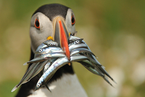 twothunderbirds:  Puffin with Fish (by Ami 211)