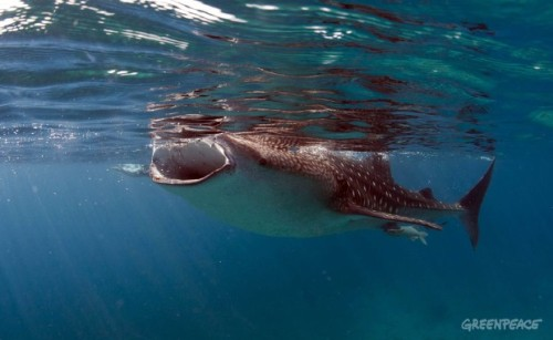 A whale shark swims in the warm water off the coast of the Philippines. According to the Australian government, around 66% of whales and other toothed cetaceans die as a result of botched attempts to use whale sharks as lures for tuna. Greenpeace is campaigning to stop the use of fishing aggregating devices (FADs) in Pacific waters. These floating devices are left in the water by fishing vessels to attract tuna. However, their usage results in the unnecessary deaths of hundreds of thousands of juvenile tuna, whales, sharks and rays every year known as by-catch.