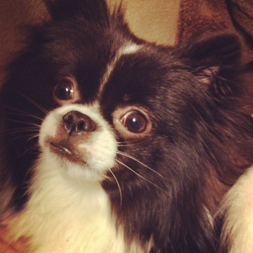Senior portraits …. #pomeranian #japanesechin  (Taken with instagram)