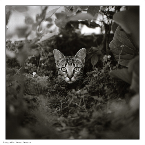 A cute cat staring right at you from the bushes Photography by Mauro Fattore Camera: Zenza bronica sq-a Film: Fomapan 200 creative
