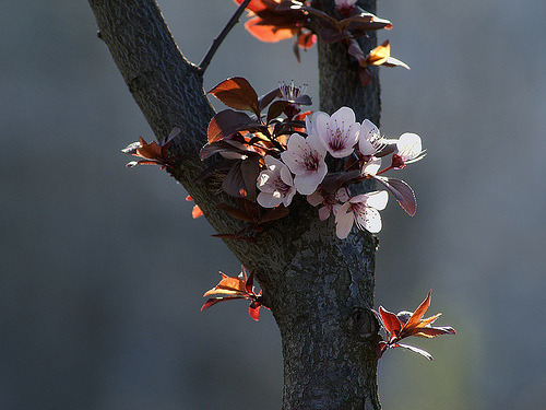 theantidote:  Blossom (by Dragan*) plum tree