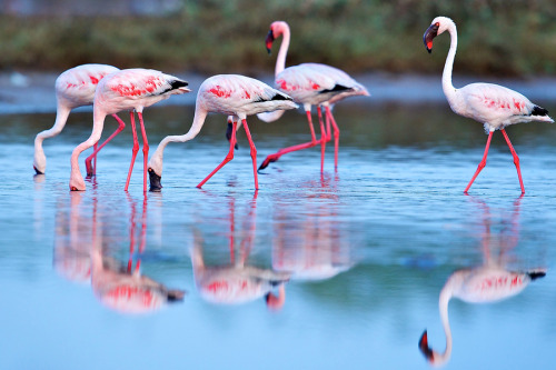 Greater Flamingo by VIJAY VAZIRANI
