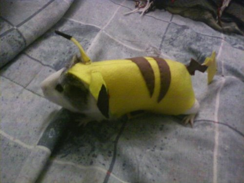 sorenhateseverything:  bunnyfood:  Guinea Pig Pikachu  oh my fucking god