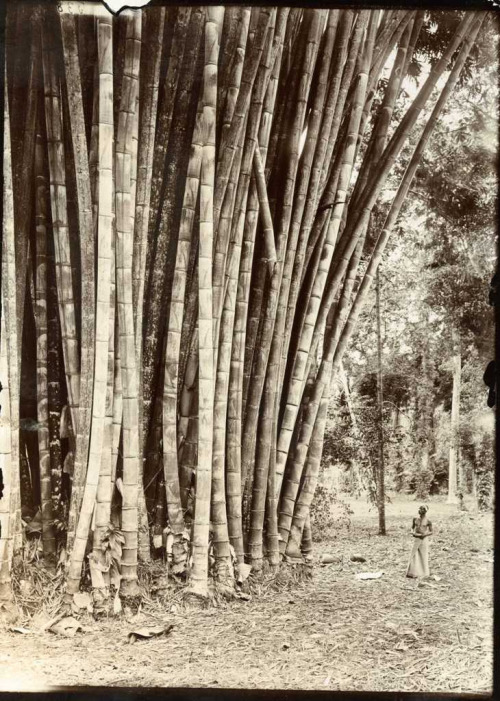 "The Botanical Gardens, Peradeniya, Sri Lanka  Description: ""Bamboo in the Botanical Gardens, Peradeniya, Ceylon"". Photograph taken by Herbert Ponting (1870-1935). Date: c.1907"