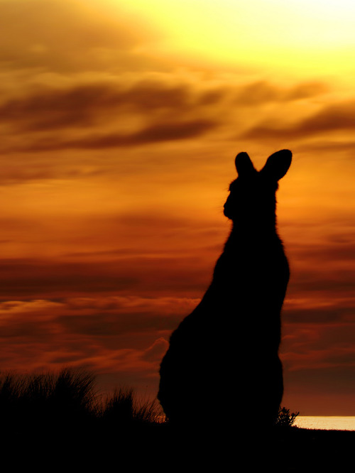 culturalcrosspollination:  Kangaroo Sunset