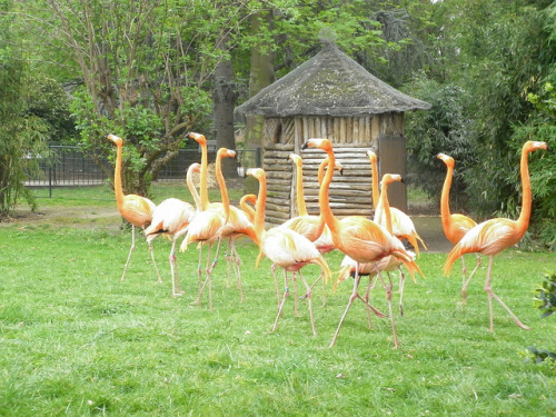 Flamants Rouge on Flickr. Zoo of Paris