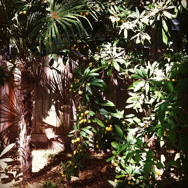 plantingart:  Tasty treat loquats (Taken with instagram)