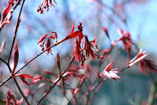 japanese maples on Flickr. (#89 in the 365+1 series)