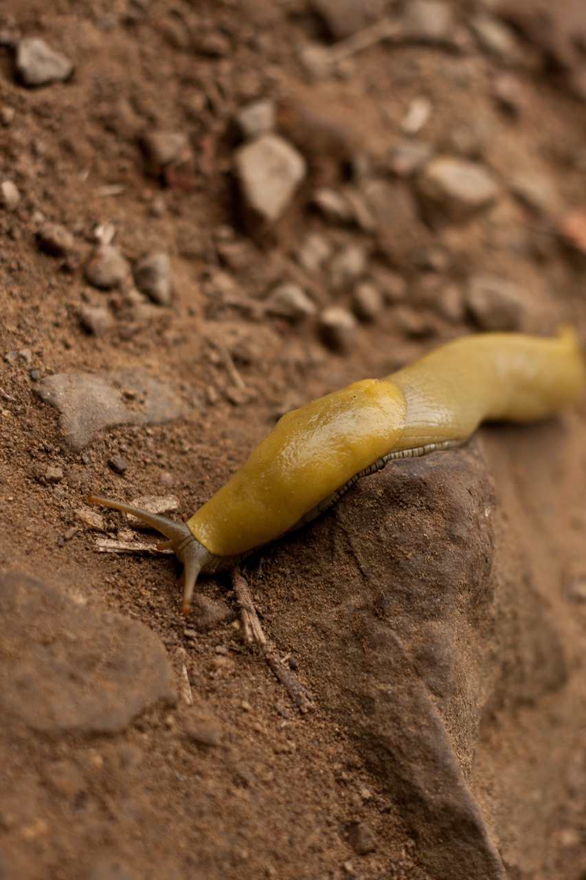 Banana slugs do their yin-yang thing.