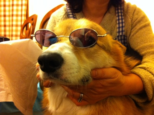 "Reader Submission: ""studious corgi"""