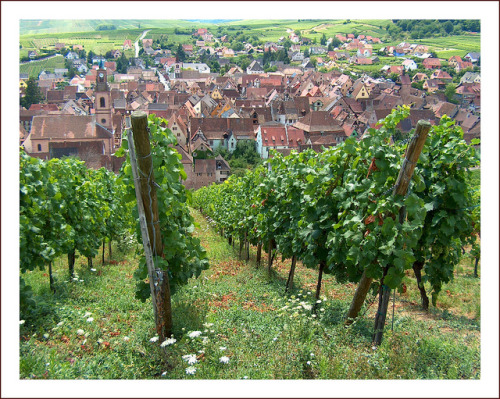 ysvoice:  | ♕ |  Vineyards of Riquewhir  - Alsace, France  | by © jolivillage