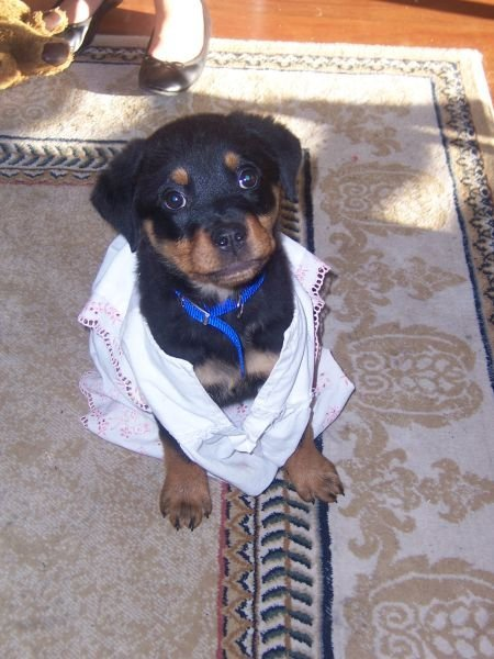 This is my Rottweiler Bell, when she was 6 weeks old. Such a rascal <3