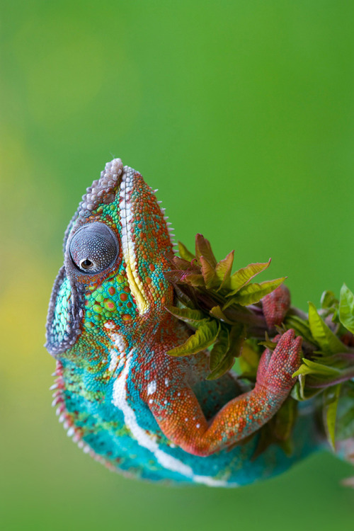 Chameleons are just delightful.