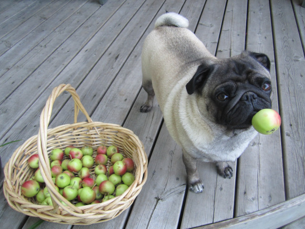 anarya-c:  upsettingshorts:  thefluffingtonpost:  Local Pug Wins Apple Picking Contest The final apple picking contest of the season came down to a draw, but an area pug emerged victorious in a sudden death tie-breaker. The winning fruit was found under the deck just in the nick of time. Via Amatha.  reblog all the pugs  Whhyyyyy are pugs so cuuuuuute??
