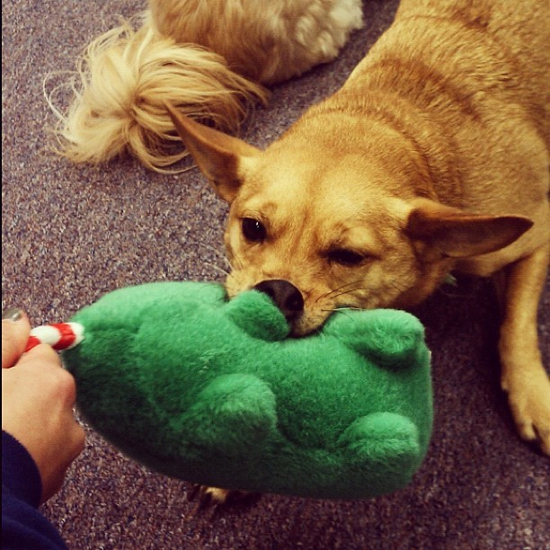 Ziggy wanted to play tug a war. (Taken with instagram)