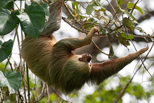 giraffe-in-a-tree:  2 toed sloth by palnick on Flickr.