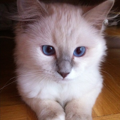 Lillie baby ❤ #ragdoll #kitten #cat #white #blueeyes #beautiful #pretty #gorgeous #adorable #sweden #ig #like #follow  (Taken with instagram)