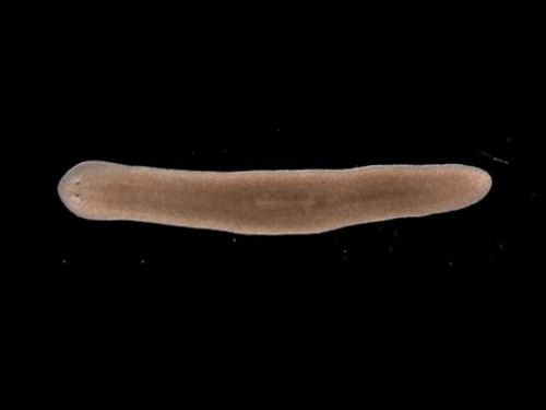 "Immortal Planarian Worms Defy Aging by Emma Thorne Researchers from The University of Nottingham have demonstrated how a species of flatworm overcomes the ageing process to be potentially immortal. Planarian worms have amazed scientists with their apparently limitless ability to regenerate. Researchers have been studying their ability to replace aged or damaged tissues and cells in a bid to understand the mechanisms underlying their longevity. ""Usually when stem cells divide — to heal wounds, or during reproduction or for growth — they start to show signs of ageing. This means that the stem cells are no longer able to divide and so become less able to replace exhausted specialised cells in the tissues of our bodies. Our ageing skin is perhaps the most visible example of this effect. Planarian worms and their stem cells are somehow able to avoid the ageing process and to keep their cells dividing.""One of the events associated with ageing cells is related to telomere length. In order to grow and function normally, cells in our bodies must keep dividing to replace cells that are worn out or damaged. During this division process, copies of the genetic material must pass on to the next generation of cells. The genetic information inside cells is arranged in twisted strands of DNA called chromosomes. At the end of these strands is a protective 'cap' called a telomere. Telomeres have been likened to the protective end of a shoelace which stops strands from fraying or sticking to other strands… (read more: University of Nottingham)"