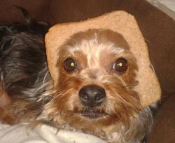 Here's our dog, Poppy, attempting the latest meme 'breading'