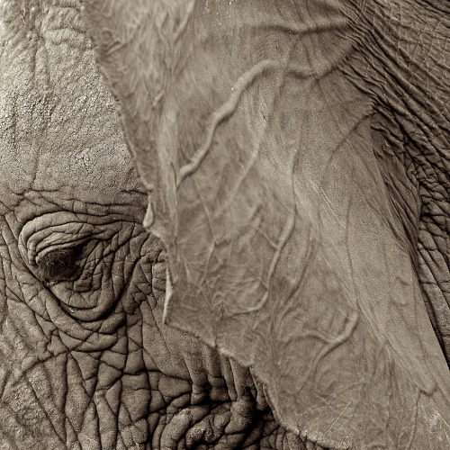 An elephants skin is rough and is covered in deep ridges and hair that ranges from short tiny bristles to thicker, wiry strands. Their trunks are especially rough. But behind the ears, oh my. I have had the blessings of scratching and rubbing them there and it is as soft and warm as anything I have touched. It is part of the elephant magic I have come to know.